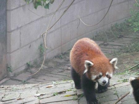 Pandas - Chongqing 057
