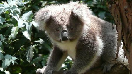 Koala 019