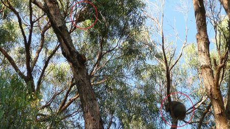Two koalas 003