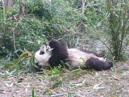 Pandas - Chongqing 017