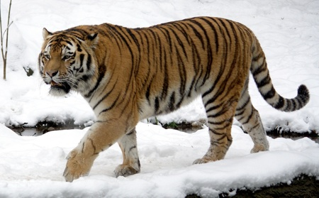 Tiger-cropped