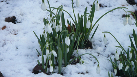 Snowdrops-in-snow