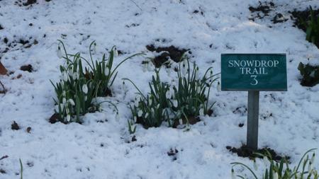 Snowdrop-trail
