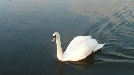 Swan-on-the-Serpentine