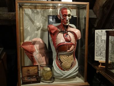 Anatomical-display