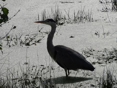 Heron-in-algae