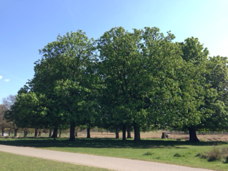 Richmond-Park-trees